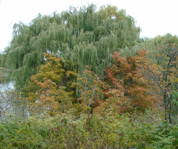 willow at Chicago Botanic Garden