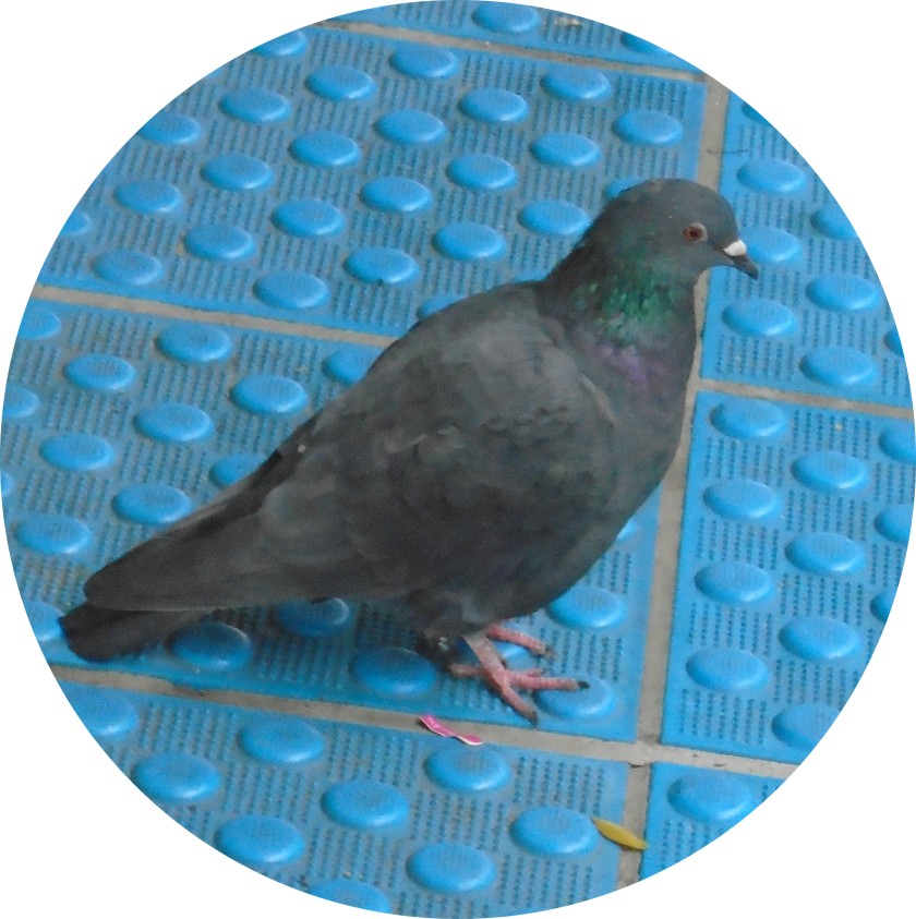 201811pigeonb