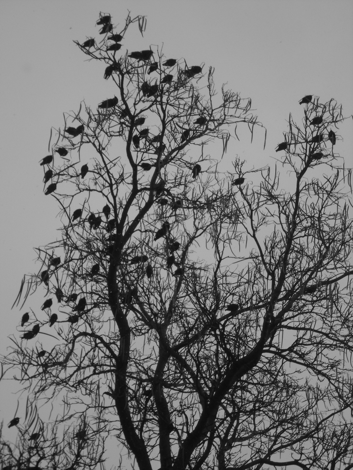A Chattering ofStarlings