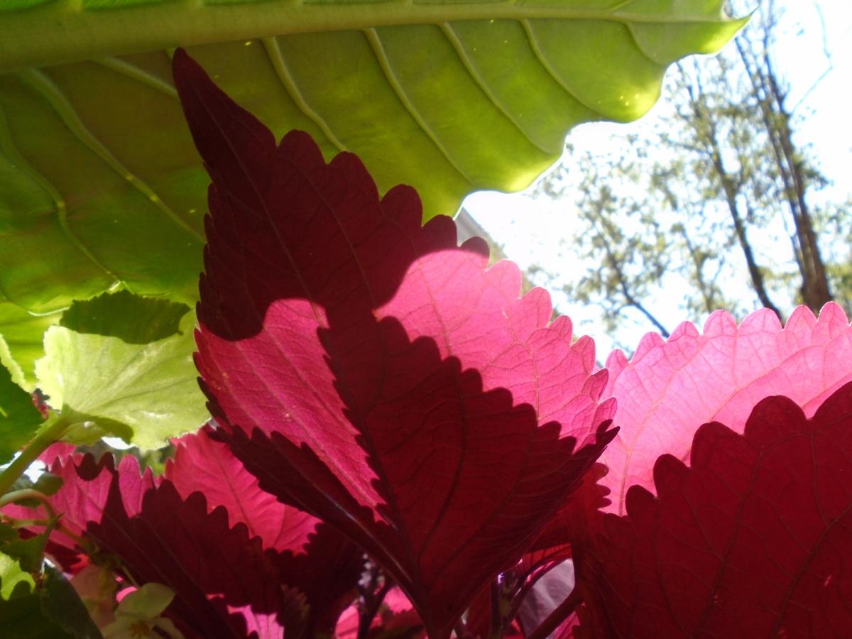 More Leaf andShadow